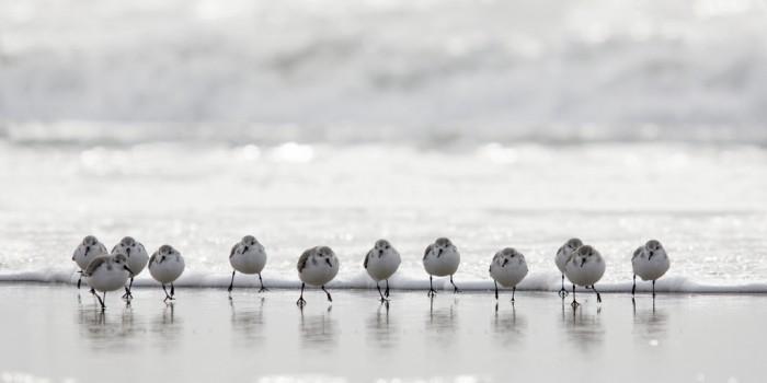 One dozen Sanderlings running away from waves