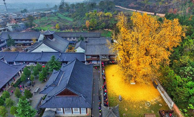 1,400-year-old tree drowns Buddhist temple in a yellow ocean of leaves