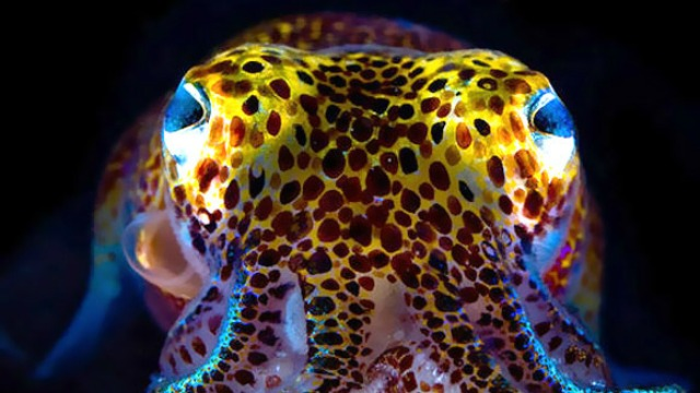 The cure to Flesh-Eating microscopic organisms disorder could lie in a minor little squid