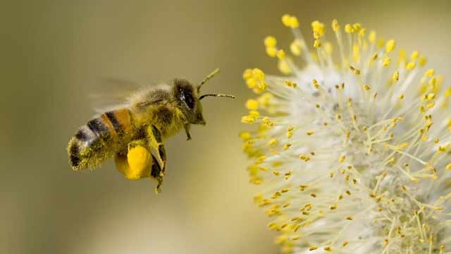 Honey bees use sophisticated signals to warn nestmates of danger level from predators