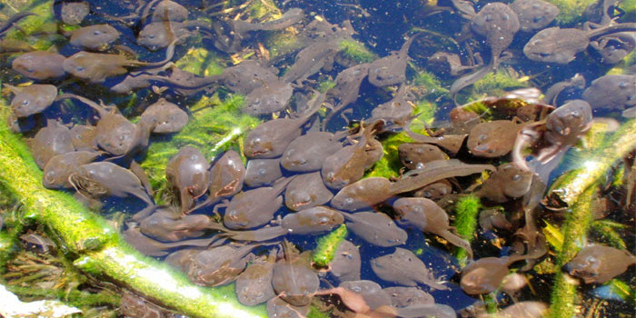 Western Ghats home to rare sand-eating tadpoles