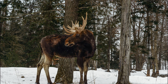 Watch video: This is what happened when a moose shook its head!