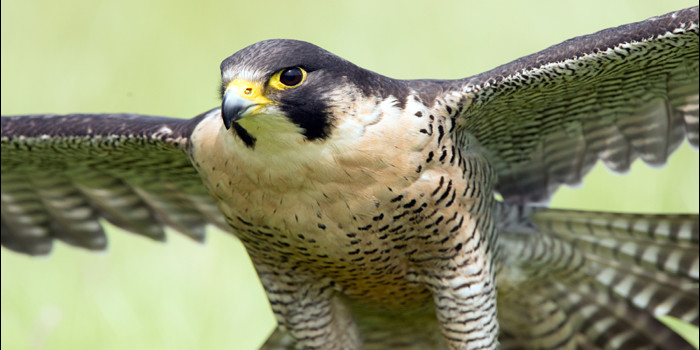 Watch: This is how the world's fastest bird catches its prey!