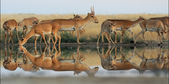 Saiga numbers rise after mass die-off, reveals survey
