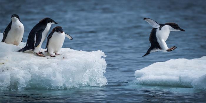 Climate change alert! Warm Antarctica spells bad news for penguin colonies