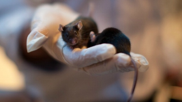 Scientists grow mouse eggs from stem cells in laboratory