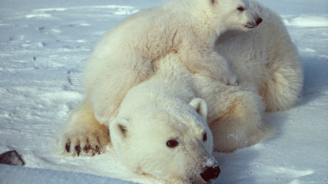Polar bear numbers to plunge a third as Arctic sea ice melts: Study