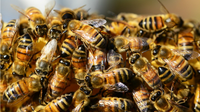 Bees, wasp stings more lethal than snakes and jellyfish