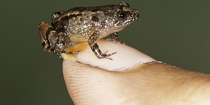 Four new species of small night frogs discovered in Western Ghats