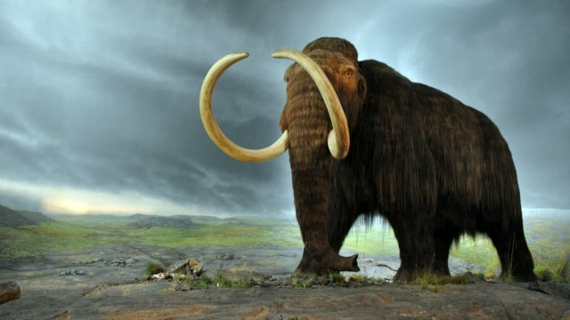 Woolly mammoths suffered genetic 'meltdown' before extinction